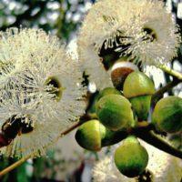 Растительный экстракт йохимбе для мужчин: состав и принцип действия