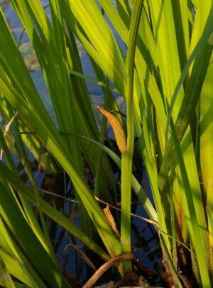 Трава аир для потенции