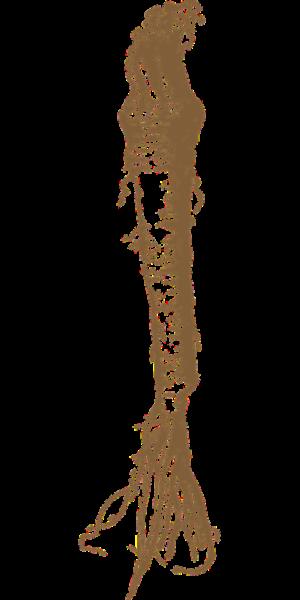 Корень хрена