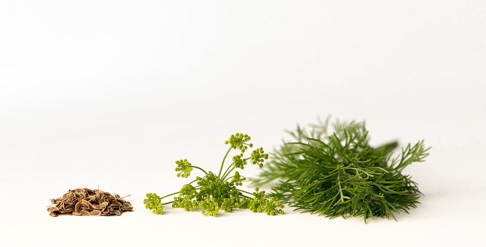 Укроп от семян до съедобной части